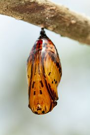 stock photo of cocoon tree  - butterfly chrysalis hanging from a tree branch - JPG
