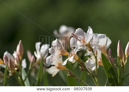 Oleander Flowers In White Apricot Pink Against A Green Background