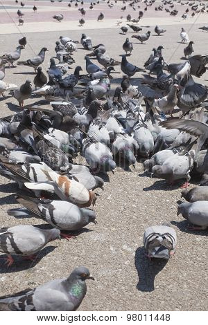 Pigeons Are Eating Forage