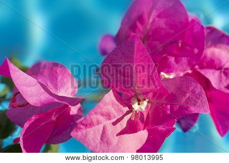 Bougainvillea Flower Close-up