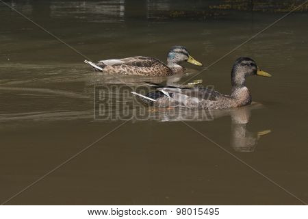 Two Wild Ducks Swimming