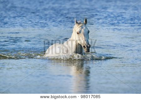 White horse in lake