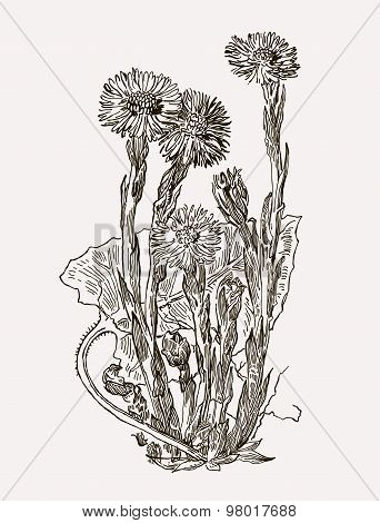 Vector images of medicinal plants. Detailed botanical illustration for your design. Biological additives are. Healthy lifestyle. Coltsfoot.