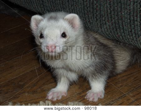 Male Silver Mitt Ferret