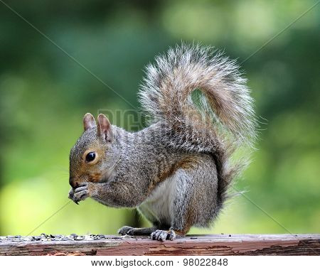 Gray Squirrel Eating From It's Paws
