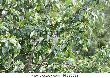 Blue Jay (Cyanocitta cristata) on Branch