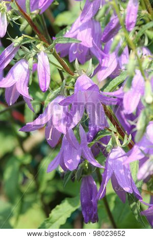 Bellflower, Creeping (Campanula rapunculoides)