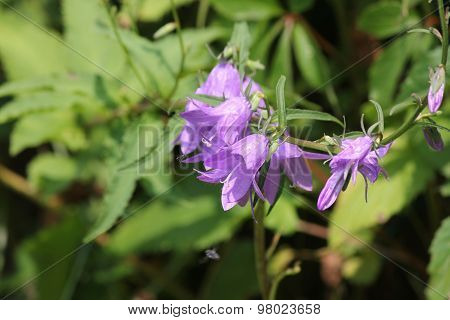 Bellflower, Creeping (Campanula rapunculoides))