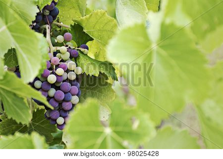 Mature And Immature Grapes Of Red Wine Behind Blurred Leaves