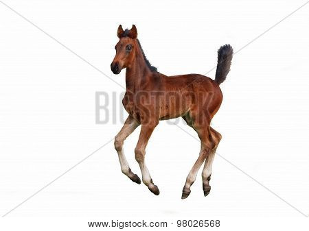 A little bay foal galloping