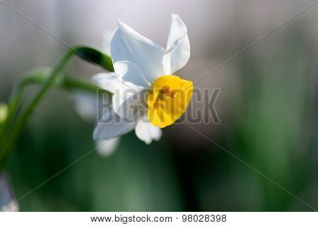 White Narcissus.
