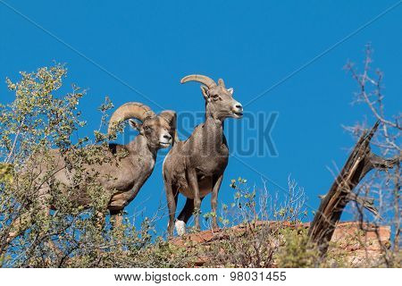 Desert Bighorn Ewe and Ram