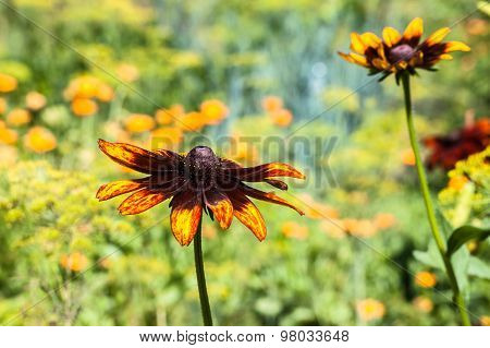 Rudbeckia Or Black Eyed Susan Flower In The Summer Garden. Summer Flowers Background. Selective Focu