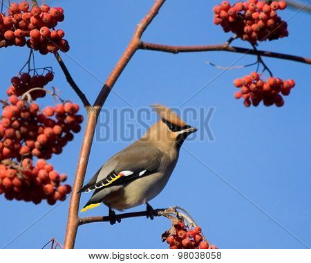Waxwing on branch of mountain ash