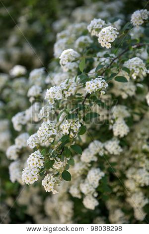 White flower of Spiraea shrub  in a garden. Selective soft focuse