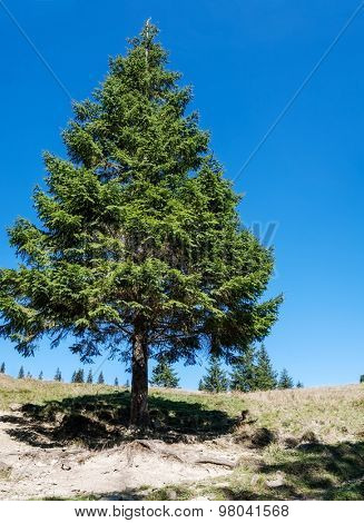 High lonely pine in a clearing. landscape