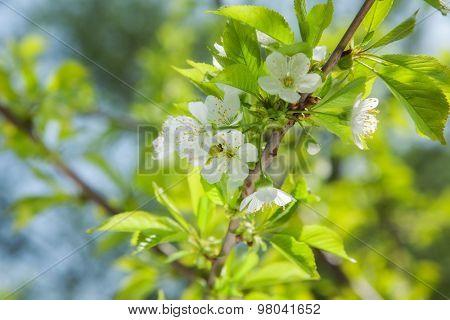 Beautiful spring cherry blossom. close-up
