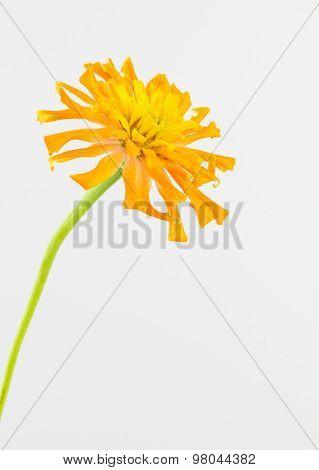 Yellow-orange Zinnia Flower