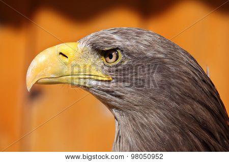 White-tailed eagle (Haliaeetus albicilla), also known as the sea eagle. Wild life animal.