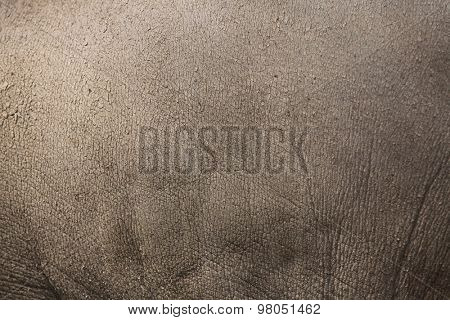Sulawesi babirusa (Babyrousa celebensis) skin texture. Wild life animal.