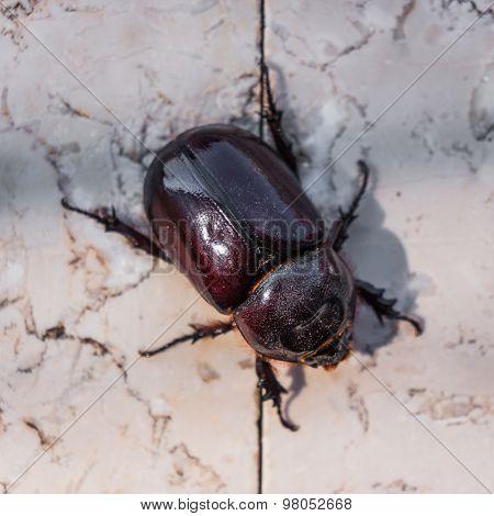 rhinoceros beetle on stone background.