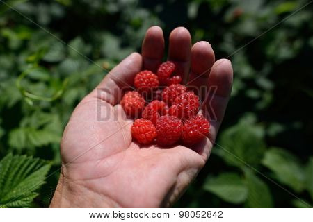 man's hand full of fresh raspberries