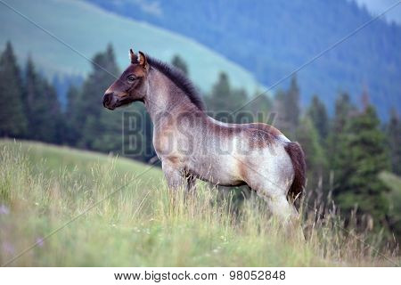 cute foal on mountain pasture