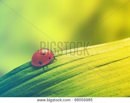 ladybug sits on a green leaf. Filtered image: vintage effect.