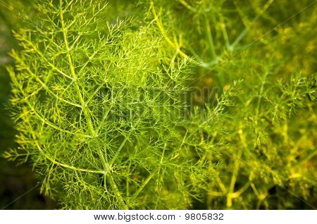Wild Aniseed