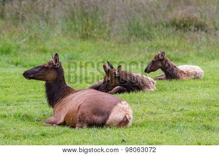 Wild Roosevelt Elk