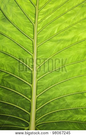 Macro background texture of banana leaf for your design.