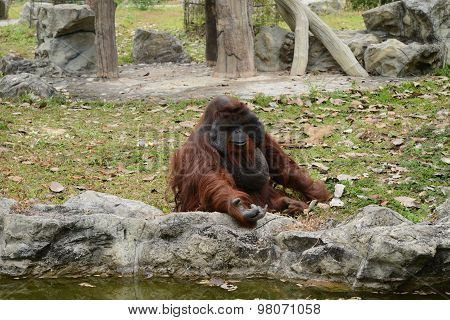 Huge Ape In Zoopark