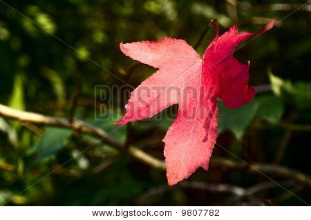 lonely red leaf