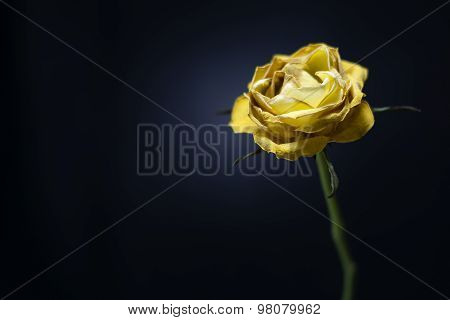 Yellow fading single rose on black background