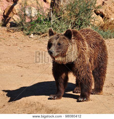 Brown Bear Animal