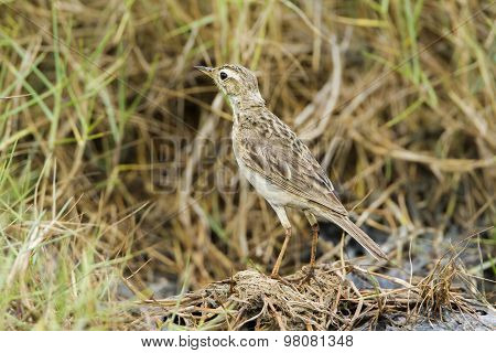 Paddyfield Pipit In Pottuvil, Sri Lanka