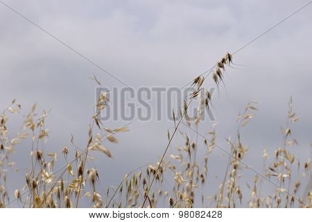 Oat Straw Plants
