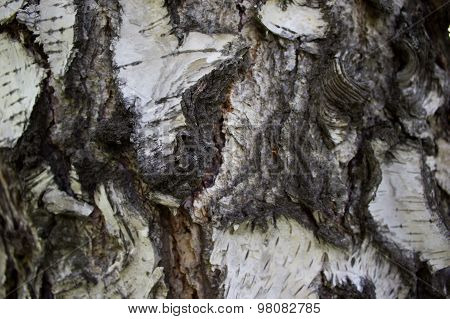 Bark, Birch Tree On The Entire Frame
