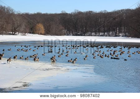 Geese At Lake In Winter #2