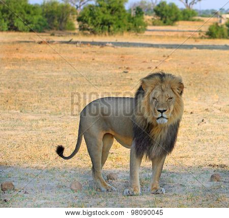 Cecil the black maned lion standing on the plains in Hwange