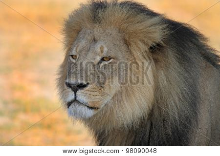 Cecil the Hwange Lion standing on the plains in Hwange
