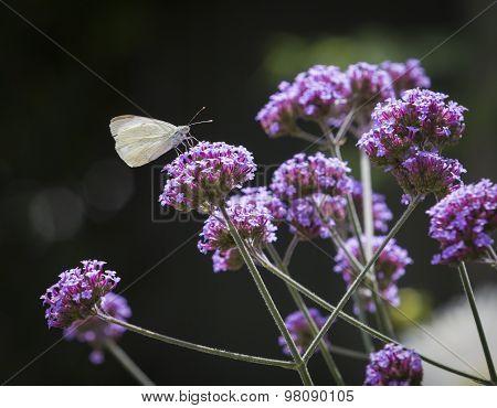 Macro White Butterfly