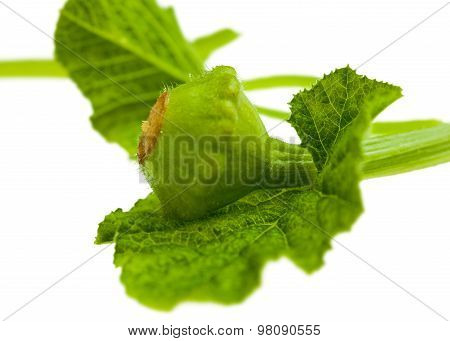 Young Courgette On Leaf