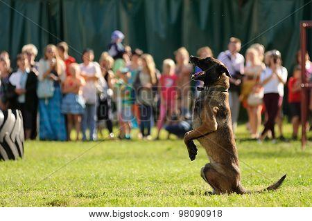 Orel, Russia, August 01, 2015: Mumu Fest, Turgenev's Story Art-festival, Police Dog Handler Show, He