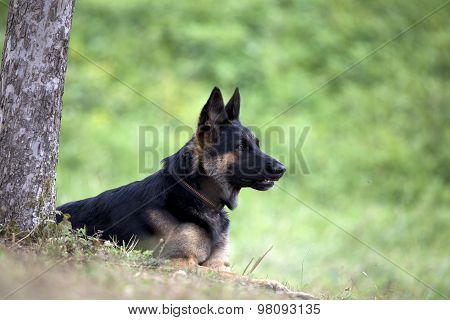 German shepard dog lay outside under tree