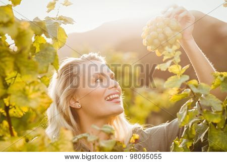 Young happy woman holding grapes in the grape fields