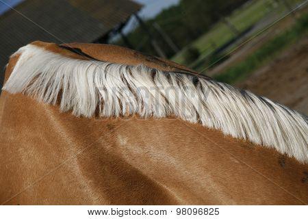 Horse's Neck With Beautiful White Mane Farmland Rural Scene