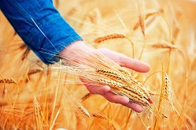 pic of crimea  - wheat field in Crimea golden wheat in field - JPG