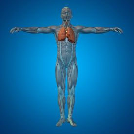 stock photo of respiratory  - Concept or conceptual anatomical human or man 3D respiratory system on blue background - JPG
