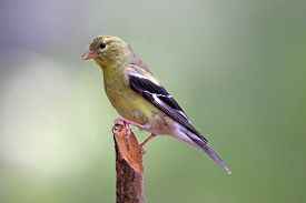 picture of goldfinches  - A female goldfinch (Carduelis tristis) perching on a branch in summer